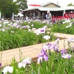 花しょうぶ祭が萬葉公園で開催