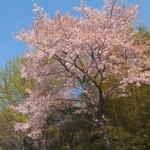 一宮市内の桜を巡り、花見スポットの情報を集めていきます