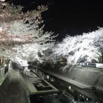 大江川緑道沿いの桜は4月10日までライトアップされます