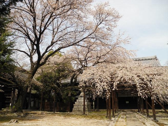 20140401長誓寺の桜