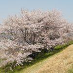 20140409渡船場の桜