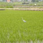 田んぼでエサをとっている鳥はサギで、日本各地で見られる野鳥です