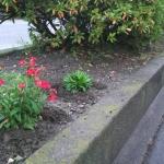沿道の街路樹の間に、赤い小さな花が咲いていました