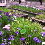 花しょうぶ祭が萬葉公園で開催。淹れたての抹茶をいただきました