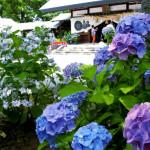 御裳神社のあじさい祭は、二分咲きでした