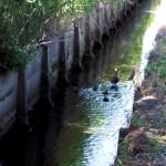 カルガモ親子と田んぼの用水路沿いで偶然に会いました