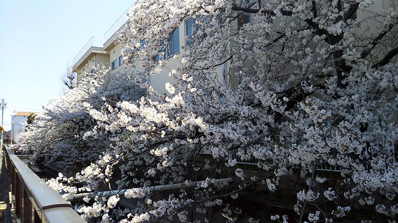 20180330黒田小学校の桜