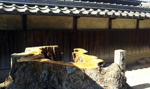地蔵寺のイチイガシ20190527