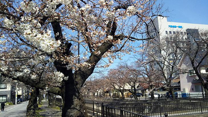 一宮市の桜20200326
