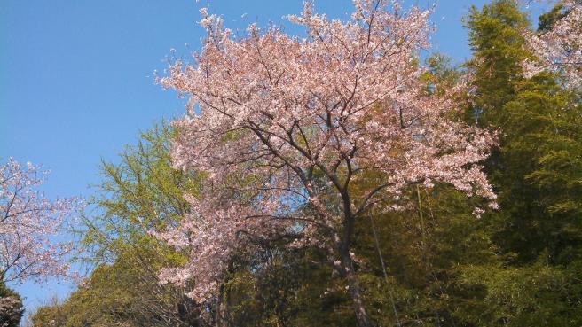 20140312桜の撮影