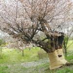 20140511枯れた桜