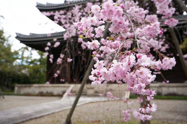 20140511妙興寺の桜